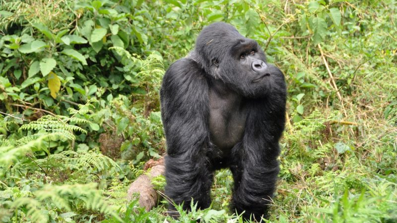 EU funds to protect the most endangered gorilla in the world